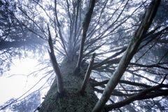 Un pino viejo del misterio imagen de archivo libre de regalías