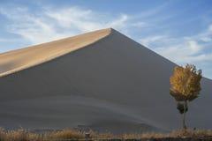 Un pioppo solo accanto alla duna di sabbia Immagini Stock Libere da Diritti