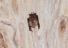 Un pipistrello terrificante in una caverna Immagini Stock