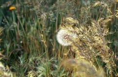 Un pissenlit dans une herbe dans le bois photo stock