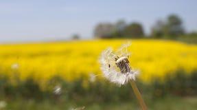Un pissenlit soufflant dans le vent, DOF très peu profond Photos stock