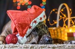 Un pitbull rosso nelle tenute del cappello del ` s di Santa si trova sul tappeto Accanto lui supporti un canestro con una ghirlan Fotografie Stock Libere da Diritti