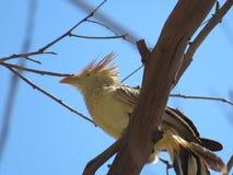 Un pivert sur les branches sèches image stock