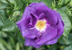 Un placer púrpura de Rose fotos de archivo