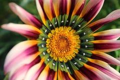 Un plan rapproché coloré de fleur Photo libre de droits