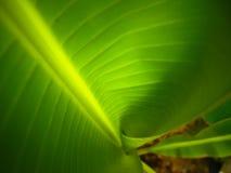Un plan rapproché courbé de feuille de banane Photographie stock libre de droits