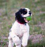 Un plan rapproché d'un cocker jouant avec une boule verte photographie stock