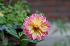 Un plan rapproché d'un dahlia rose et jaune images stock