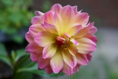 Un plan rapproché d'un dahlia rose et jaune image libre de droits