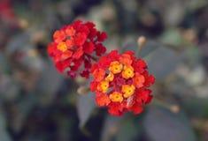 Fleurs de Lantana Photos stock