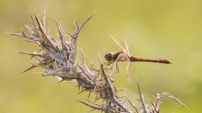 Un plan rapproché de libellule Image libre de droits