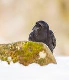 Portrait de Raven Photographie stock libre de droits