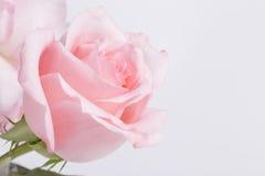 Un plan rapproché de rose de rose Photographie stock