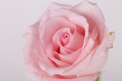 Un plan rapproché de rose de rose Image stock