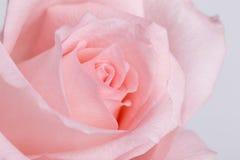 Un plan rapproché de rose de rose Photos stock