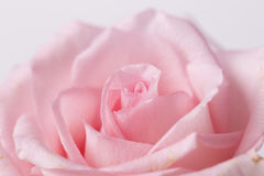 Un plan rapproché de rose de rose Photo stock