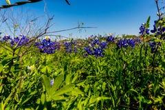 Un plan rapproché de stupéfier Texas Bluebonnets photos stock