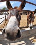 Un plan rapproché de visage d'âne dans une ferme Photographie stock