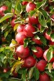 Un plan rapproché des pommes sur un arbre Photographie stock