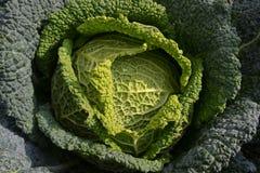 Un plan rapproché directement au-dessus de vue à un extérieur mûr vert de chou dans un jour ensoleillé image stock