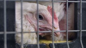 Un plan rapproché extrême sur des poulets se dirigent derrière une cage banque de vidéos