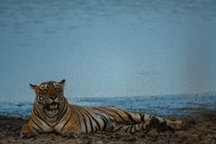 Un plan rapproché femelle de tigre avec un lac de rajbaug à l'arrière-plan images libres de droits