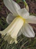 Un plan rapproché jaune de fleur de narcisse dans la perspective d'herbe Photo libre de droits