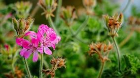 Un plan rapproché magenta rose de fleur Photo libre de droits
