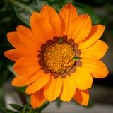 Un plan rapproché orange simple de fleur de gazania images libres de droits