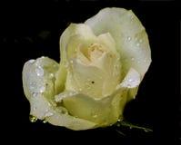 Un plan rapproché rose rose Photographie stock libre de droits