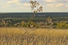 Un plan rapproché sec d'herbe de champ photo libre de droits
