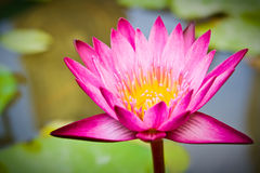 Un plan rapproché tiré du beau lotus Images libres de droits