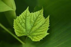 Un plan rapproché vert de feuille de raisin de vigne image stock