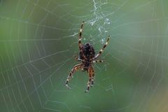 Un plan rapproch? d'une grande araign?e de jardin images stock