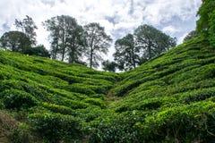 Un plantage del tè in Malesia immagini stock libere da diritti