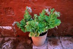 Un planteur de terre cuite des usines succulentes vertes au rouge a coloré le vieux mur rugueux images stock
