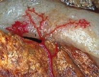 Un plasmodium venoso rojo móvil de un molde de limo en un substrato Imagenes de archivo