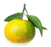 Un plein fruit de mandarine jaune avec plusieurs feuilles vertes Photographie stock libre de droits