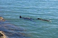 Un plongeur Or Snorkeling d'homme-grenouille Photographie stock