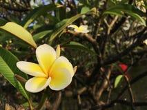 Un plumeria blanc et jaune Photographie stock