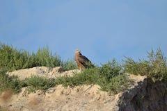 Un plus grand aigle repéré se repose dans les collines Image libre de droits