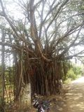Un plus grand arbre image stock