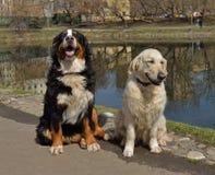Un plus grand chien suisse et un golden retriever de montagne Image libre de droits