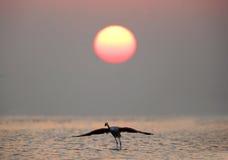 Un plus grand décollage de flamant pendant le lever de soleil Photos stock