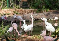 Un plus grand flamant de grand oiseau rose gentil, image libre de droits