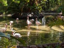 Un plus grand flamant de grand oiseau rose gentil, images libres de droits