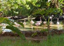 Un plus grand flamant de grand oiseau rose gentil photo libre de droits