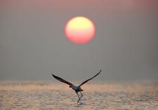 Un plus grand flamant effectuant le vol pendant le lever de soleil Images stock