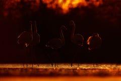 Un plus grand flamant, ruber de Phoenicopterus, de beaux grands oiseaux roses dans l'orange foncée de soirée soutiennent le solei Photo stock