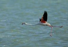 Un plus grand flamant soulevant ses jambes pour voler dans l'eau du Bahrain Photographie stock